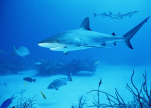 Shark species facing extinction - in pictures | Environment