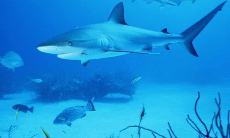 A bull shark.