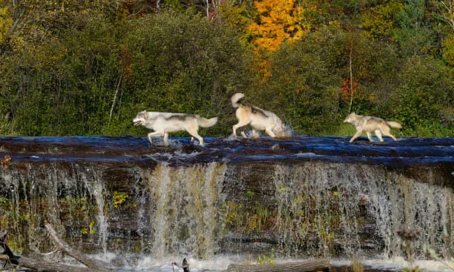 Peter Wohlleben shows how wolves in an area can change the course of rivers