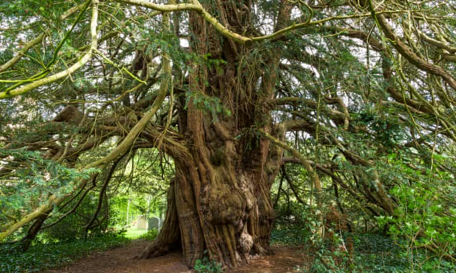 Love yew … The hollow tree in St Peter's churchyard, Llanbedr-Ystrad-Yw, Powys.