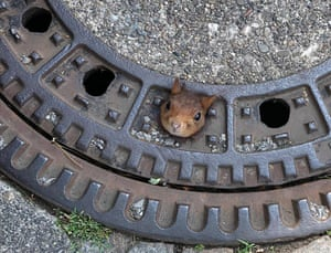 A squirrel stuck in a drain cover in Dortmund, Germany