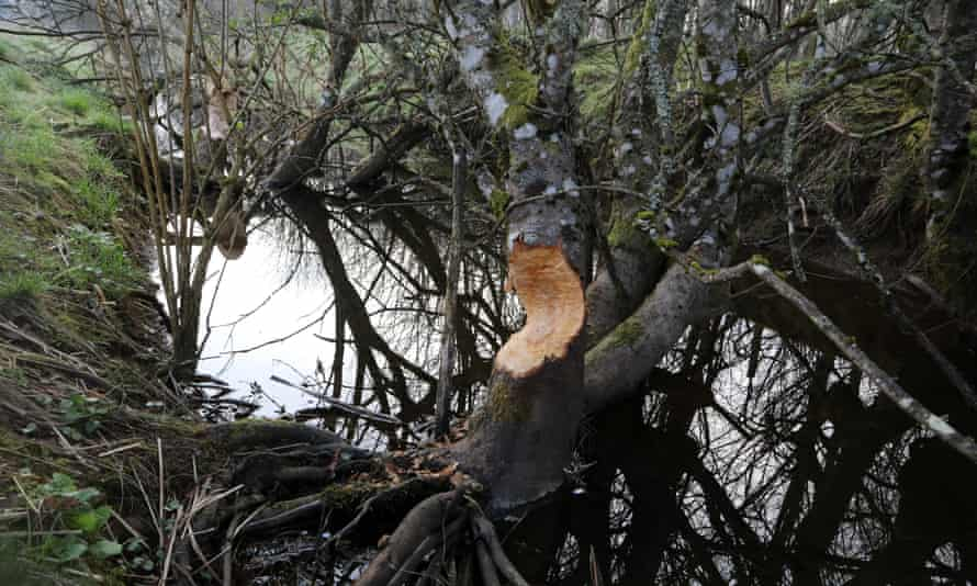 Signs of beaver activity near Comrie