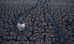 Sheep in muddy lake bed