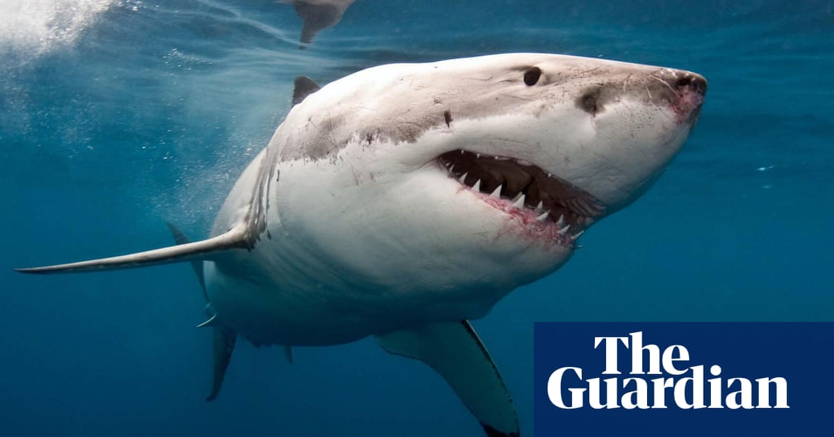 warmer seas will not lure great white sharks to uk experts say
