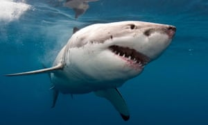 A great white shark. The type of shark involved in the incident near Byron Bay has not been identified.