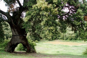Spain: the Three-Legged Spanish Oak1,200-year-old holm oak (Quercus ilex), Mendaza, NavarreThe tree is one of the oldest oaks in all of the Iberian peninsula. Its trunk is completely hollow on the inside and supported only by three large legs.