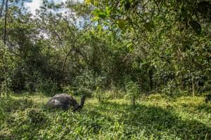 A Santa Cruz island adult giant tortoise (Chelonoidis Donfaustoi) on the remote Ecuadorean archipelago