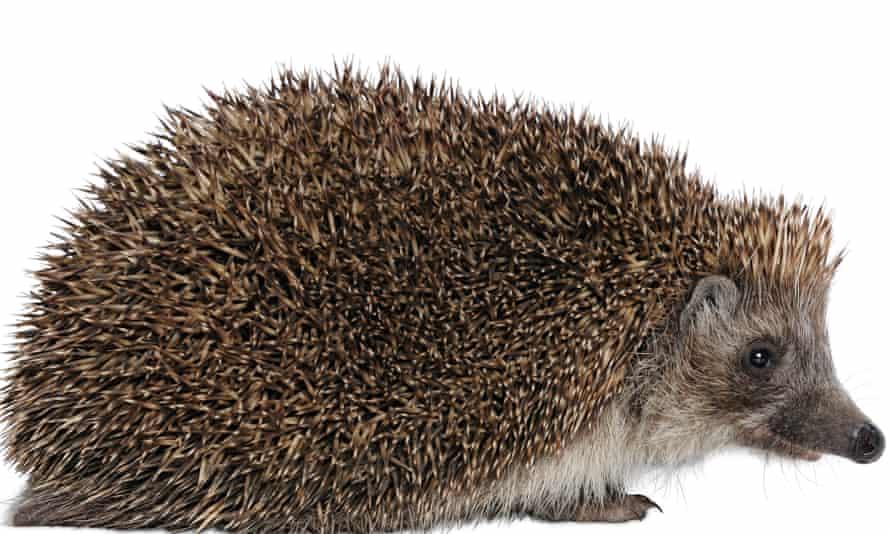 Hedgehogs hibernate in winter.