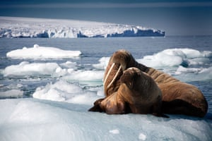 A walrus mother and her calf rest on an iceberg in Svalbard, Arctic.