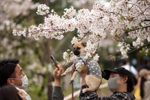 A man poses his dog in front of cherry blossoms at Inokashira Park