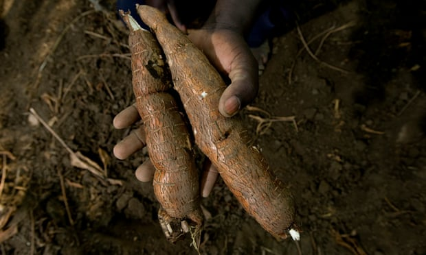 Esemu Paskal, of the Tim Teko farmers group , with their new disease resistant strain of cassava from AMREF. Photo by Dan Chung The Guardian has launched an appeal in partnership with the African Medical and Research Foundation (Amref) and Barclays as part of a three-year project to improve the lives of its 25,000 inhabitants. Katine Project
