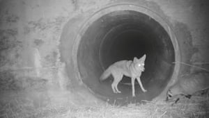 A video still of a badger and coyote underneath a highway near the southern Santa Cruz Mountains, South of San Jose, California, US