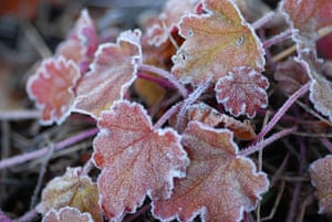 Frost on heuchera leaves