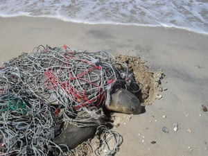 A flatback turtle trapped in a ghost net, Groote Eyelandt, Arnhem Land