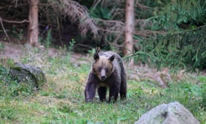 A Eurasian brown bear walking in the mountains.