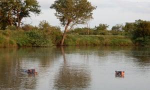 Hippos, Mkhaya reserve, Eswatini