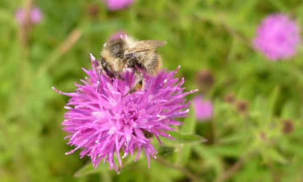 The park is home to some of the UK's rarest inhabitants, including the shrill carder bee.