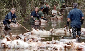 Murphy Family Farms employees float dead pigs down a flooded road near Beulaville, North Carolina, on 24 September 1999, following Hurricane Floyd.