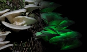 Composite image of the Ghost Fungus, Omphalotus nidiformis, in natural light and glowing in the dark