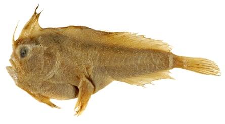 Smooth handfish