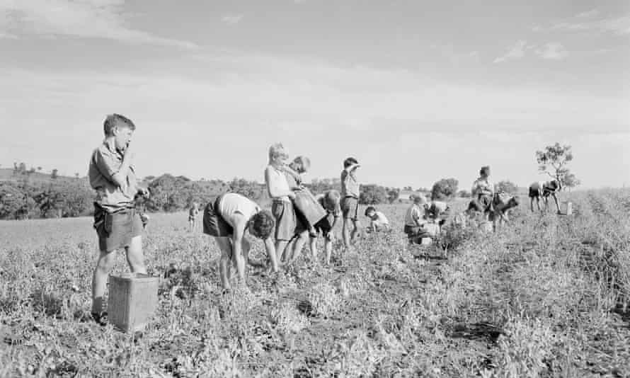 Child migrants picking peas at the Fairbridge farm school in Molong, New South Wales.