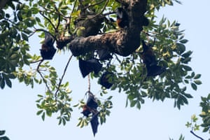 Flying foxes (Pteropus vampyrus) hang on the branch of a tree at a garden in Amritsar, India.