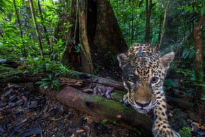 A jaguar (Panthera onca) photographed by a camera trap deep inside the Nouragues nature reserve, French Guiana
