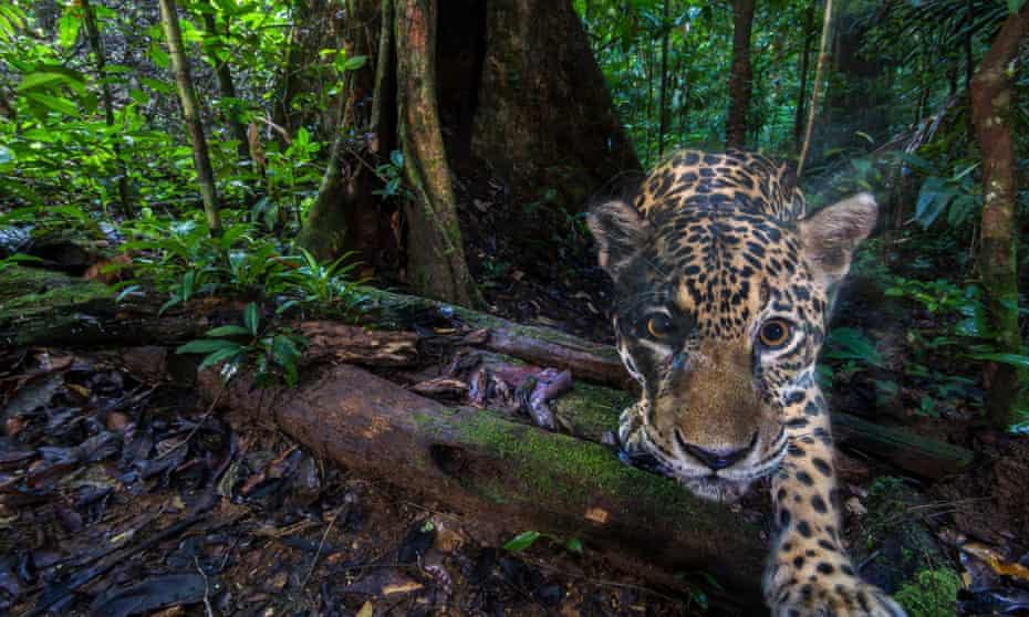 Jaguars are found across South America. This one was photographed deep inside the Nouragues Natural Reserve, in French Guiana.