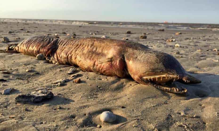 The fangtooth snake-eel found on a Texas beach