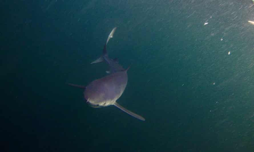 Kevin Rushby's blue shark approaches from below.