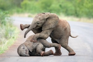 Kruger national park, South Africa: Two baby elephants enjoy a bit of rough play