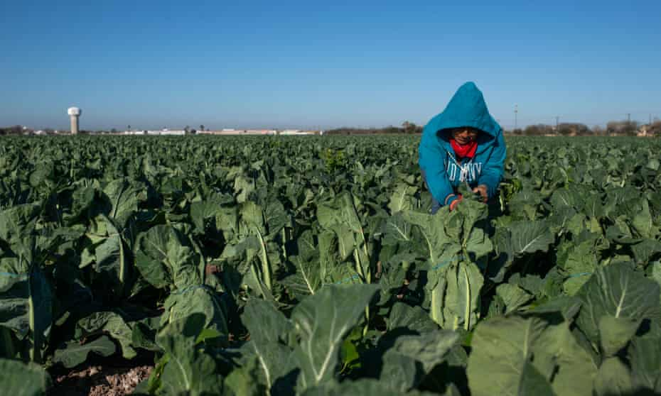 A migrant woman works in a cauliflower, field in the Rio Grande Valley, Texas.