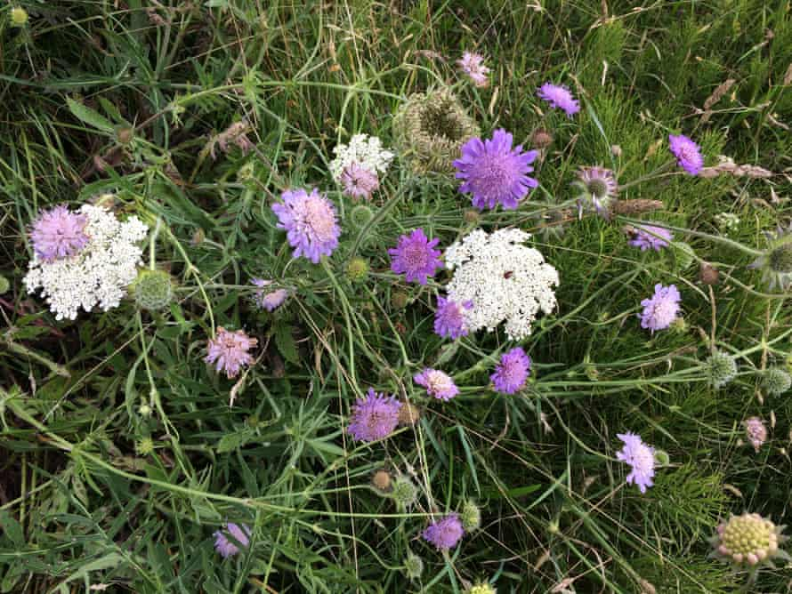 Wild carrot and the purples of scabious.