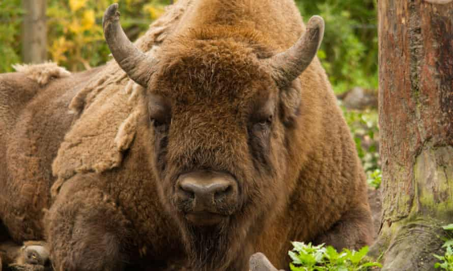The European bison is a close relative of the extinct steppe bison that once roamed Britain.
