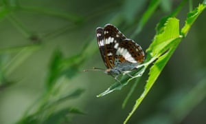 The endangered white admiral butterfly