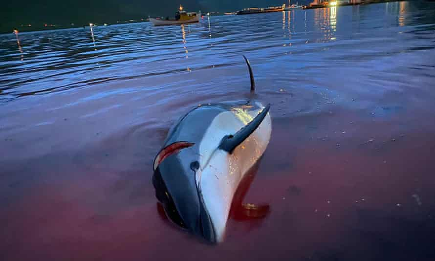 dead white-sided dolphin lays in the blood-stained shallows, Faroe islands