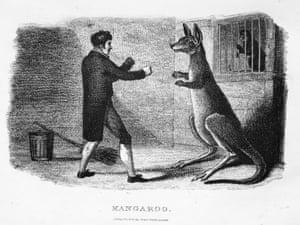 An engraving of a boxing kangaroo