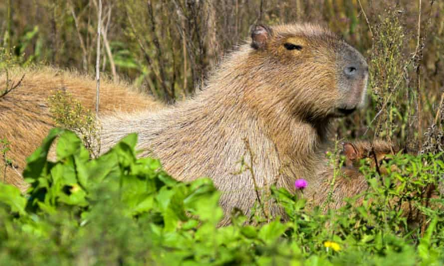 Capybaras, known locally as carpinchos, are the world's largest rodent, standing over one 60cm tall and weighing up to 60kg.