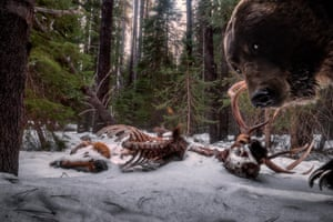 Grizzly bear looking at camera trap