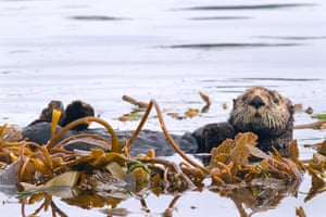 Research has found that where sea otters are present, kelp forests tend to store more carbon and are healthier.