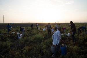 Farmworkers pick beets in the Rio Grande Valley.
