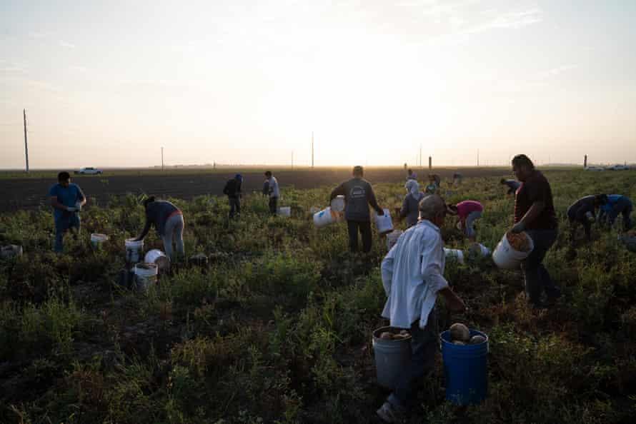 Farmworkers pick beets in the Rio Grande Valley.