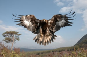 A golden eagle in Cairngorms national park, Scotland