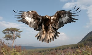 A young female golden eagle in the Cairngorms National Park, Scotland.