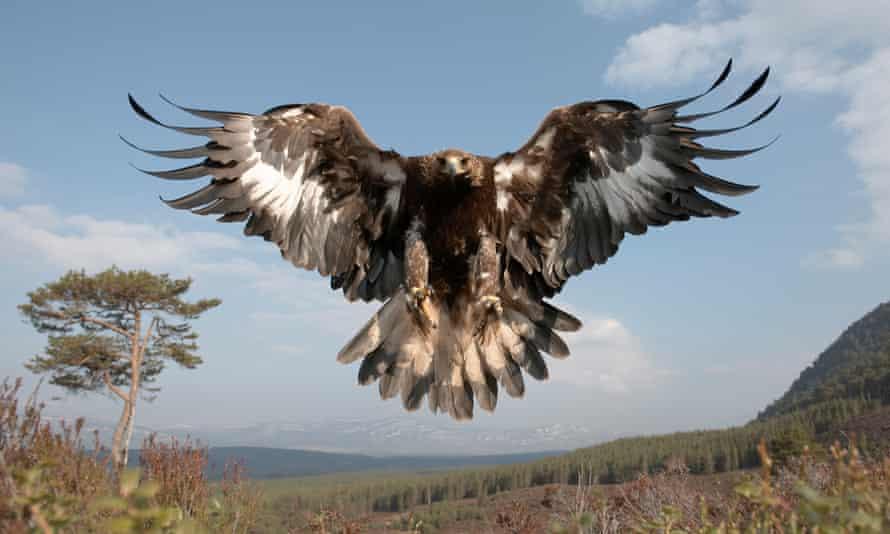A golden eagle in Cairngorns national park, Scotland