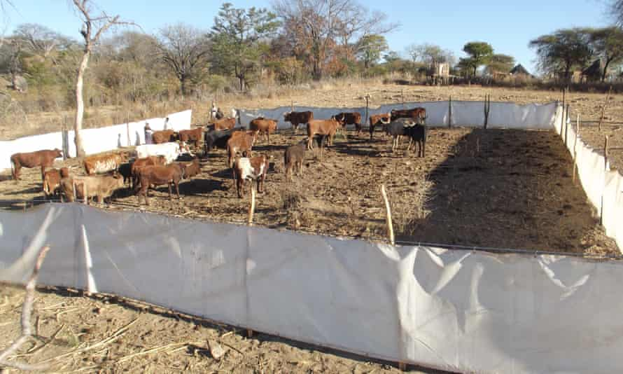Bomas, the holding pens used to protect cattle from lions.