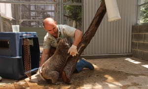 Eight adult koalas and four joeys from the genetically significant Kanangra-Boyd national park population are sitting out the bushfires at Taronga Wildlife hospital.