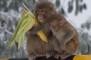 Ayubia, Pakistan Monkey eats corn during a snowfall