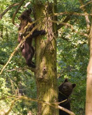 Two bears climbing a tree