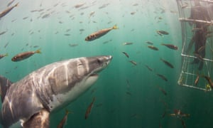 Great white shark investigating cage diver, Seal Island, False Bay, South Africa.